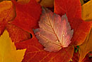 Mountain Maple and Sugar Maple Leaves, Bellevue